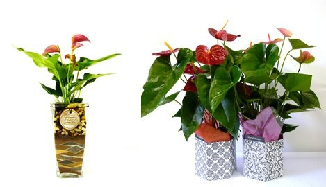 HortyGirl Anthurium plant care